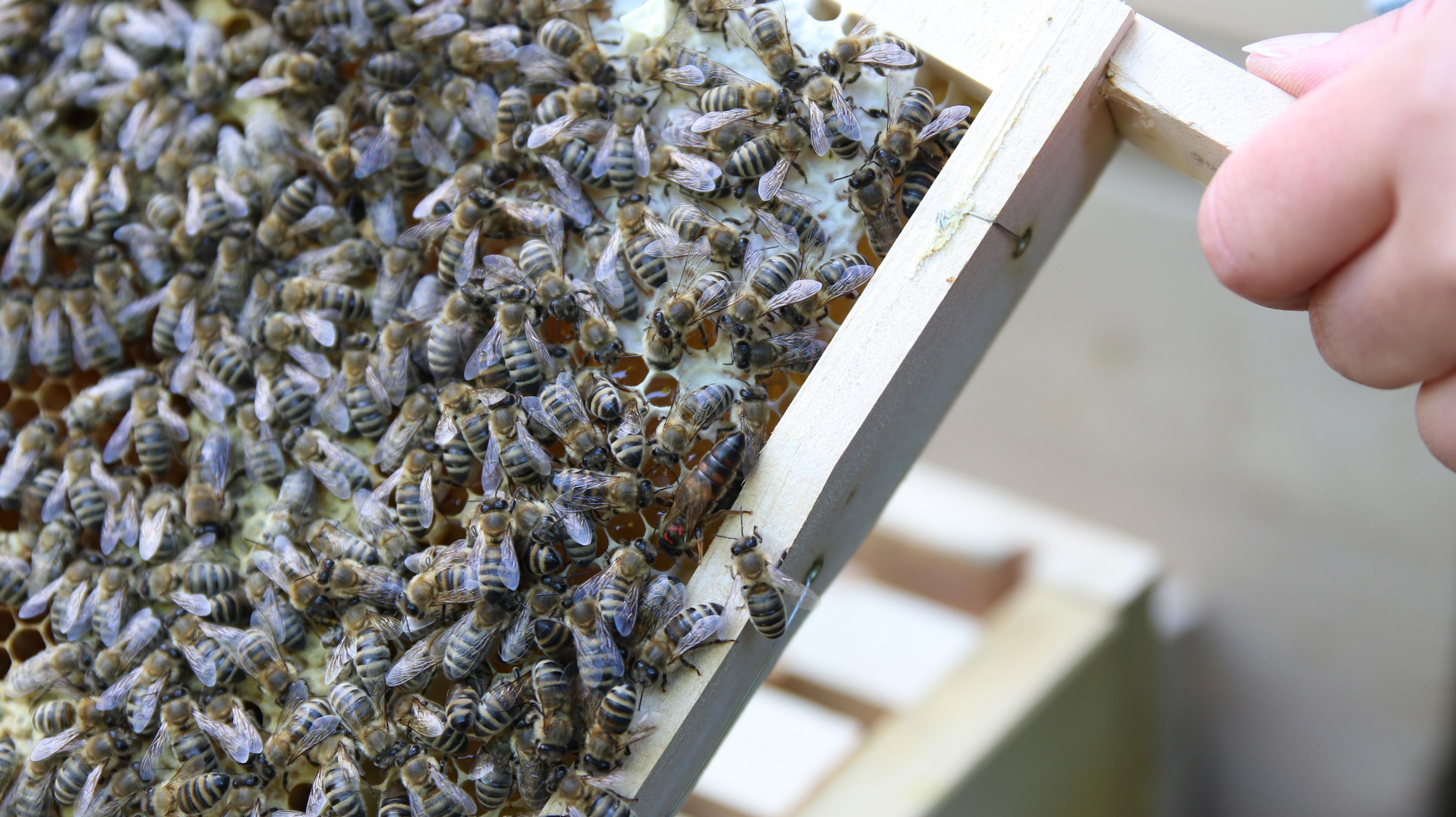 Bienen und Bienenkönigin
