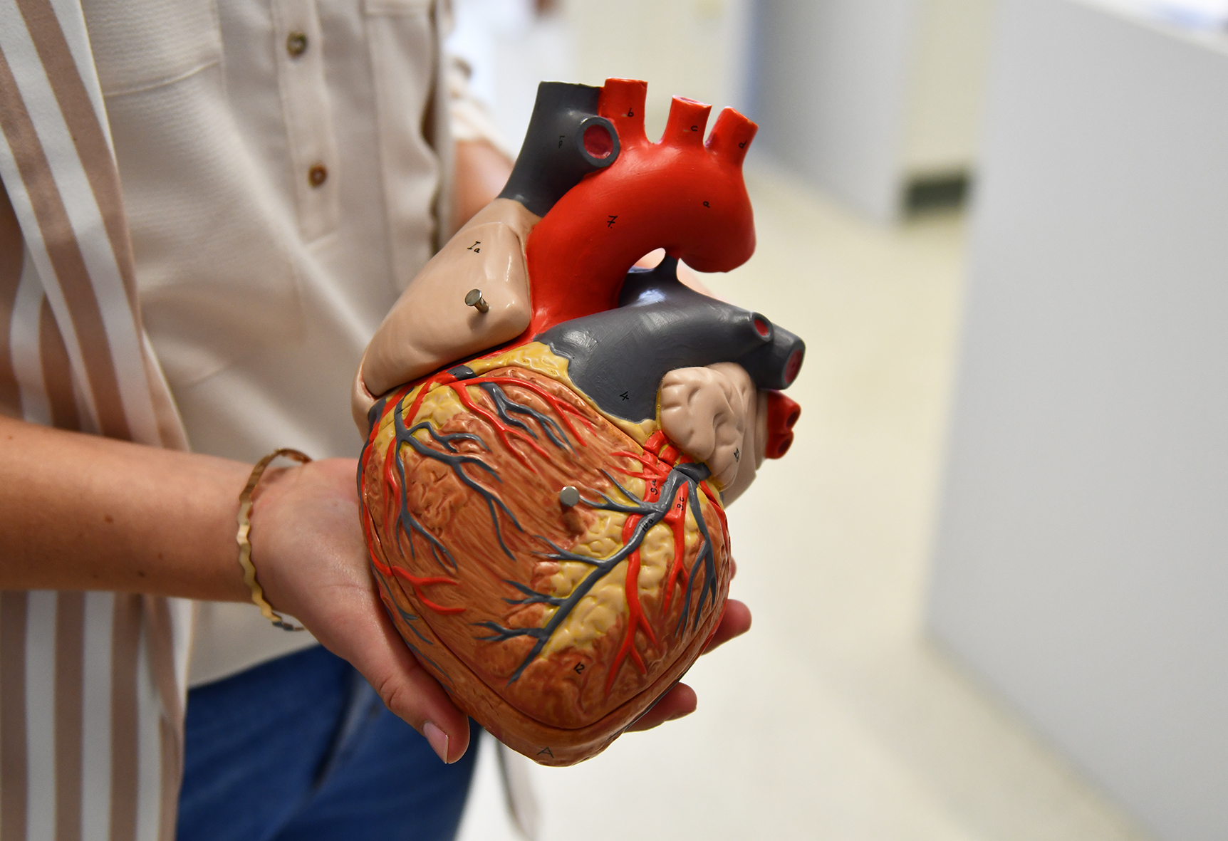 Modell des Herzens